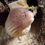 Peppered Moray Eel